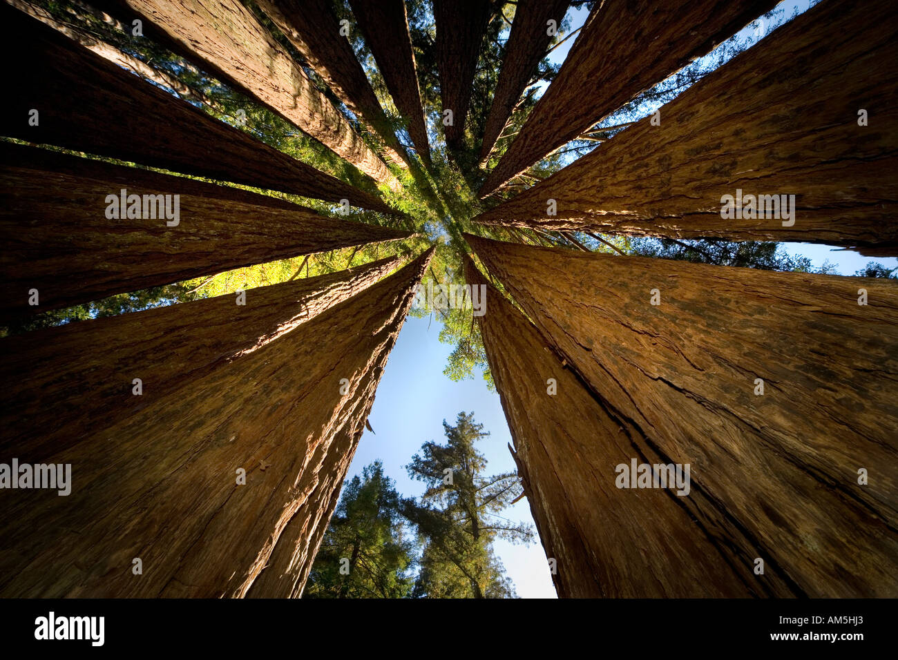 Coastal Redwood Fairy Rings