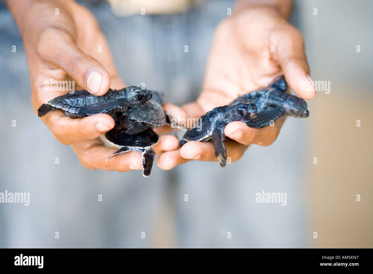volunteer-holding-baby-sea-turtles-sea-t