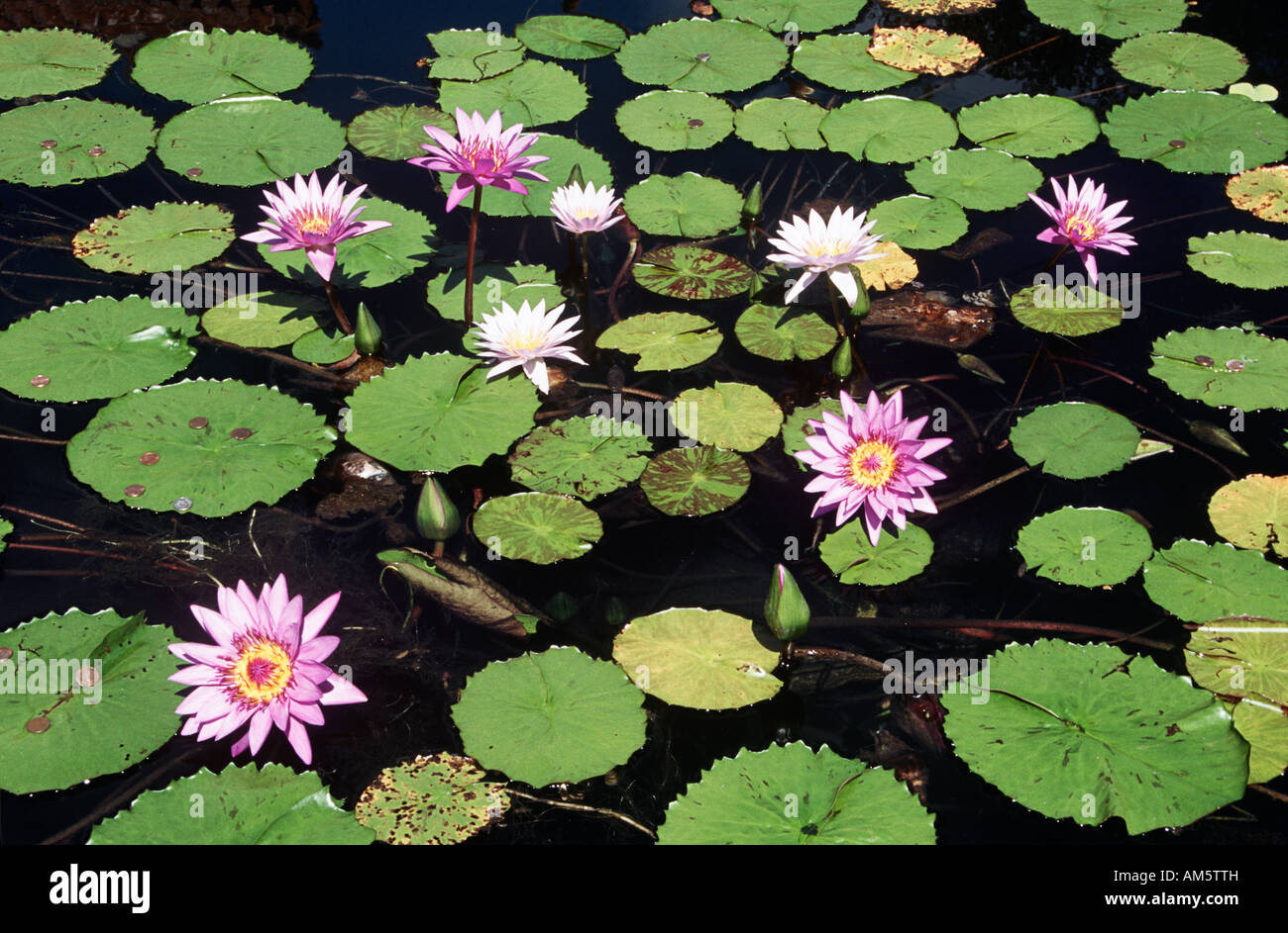 how to grow lily pads in a pond