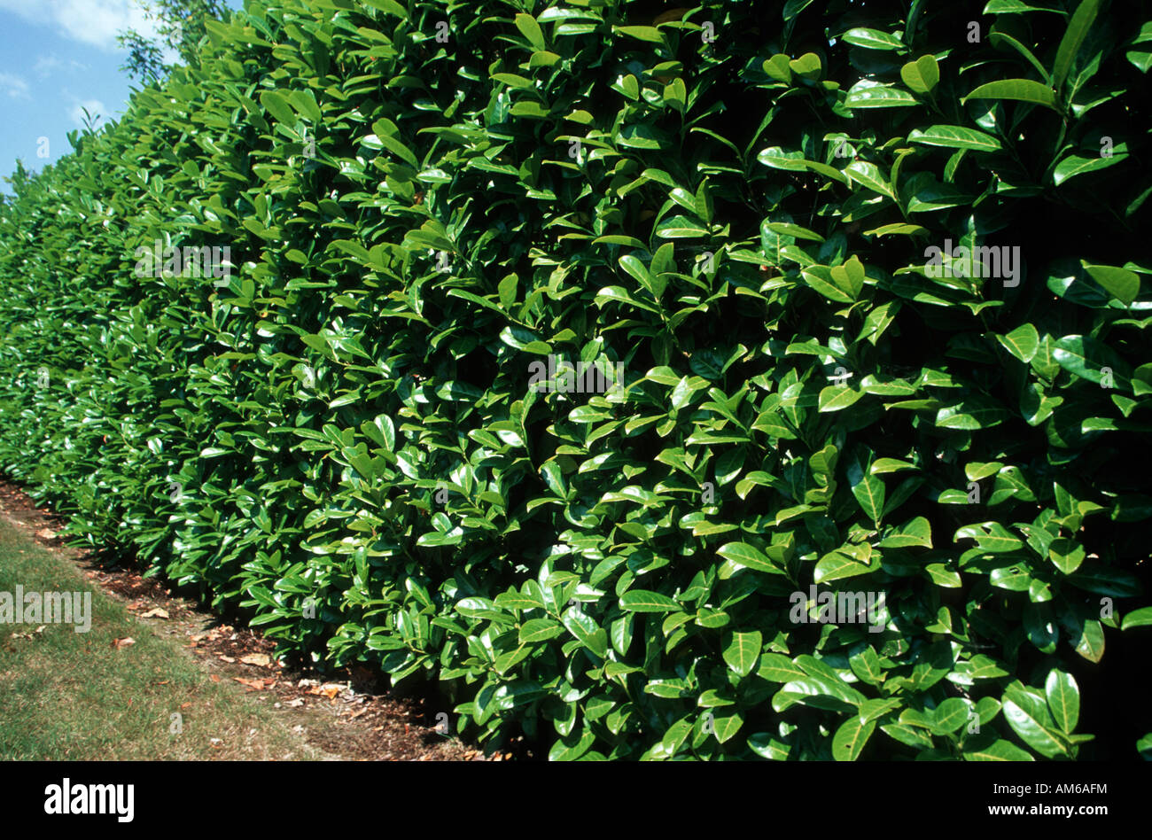 cherry laurel hedge prunus laurocerasus stock photo. Black Bedroom Furniture Sets. Home Design Ideas