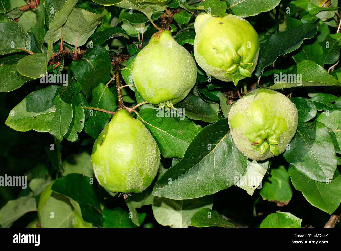 quince quinces fruits cydonia oblonga cultivar konstantinopel stock photo royalty free. Black Bedroom Furniture Sets. Home Design Ideas