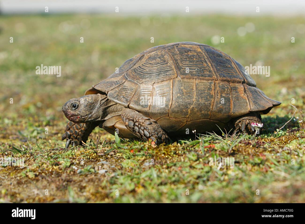 ibera greek tortoise - photo #10