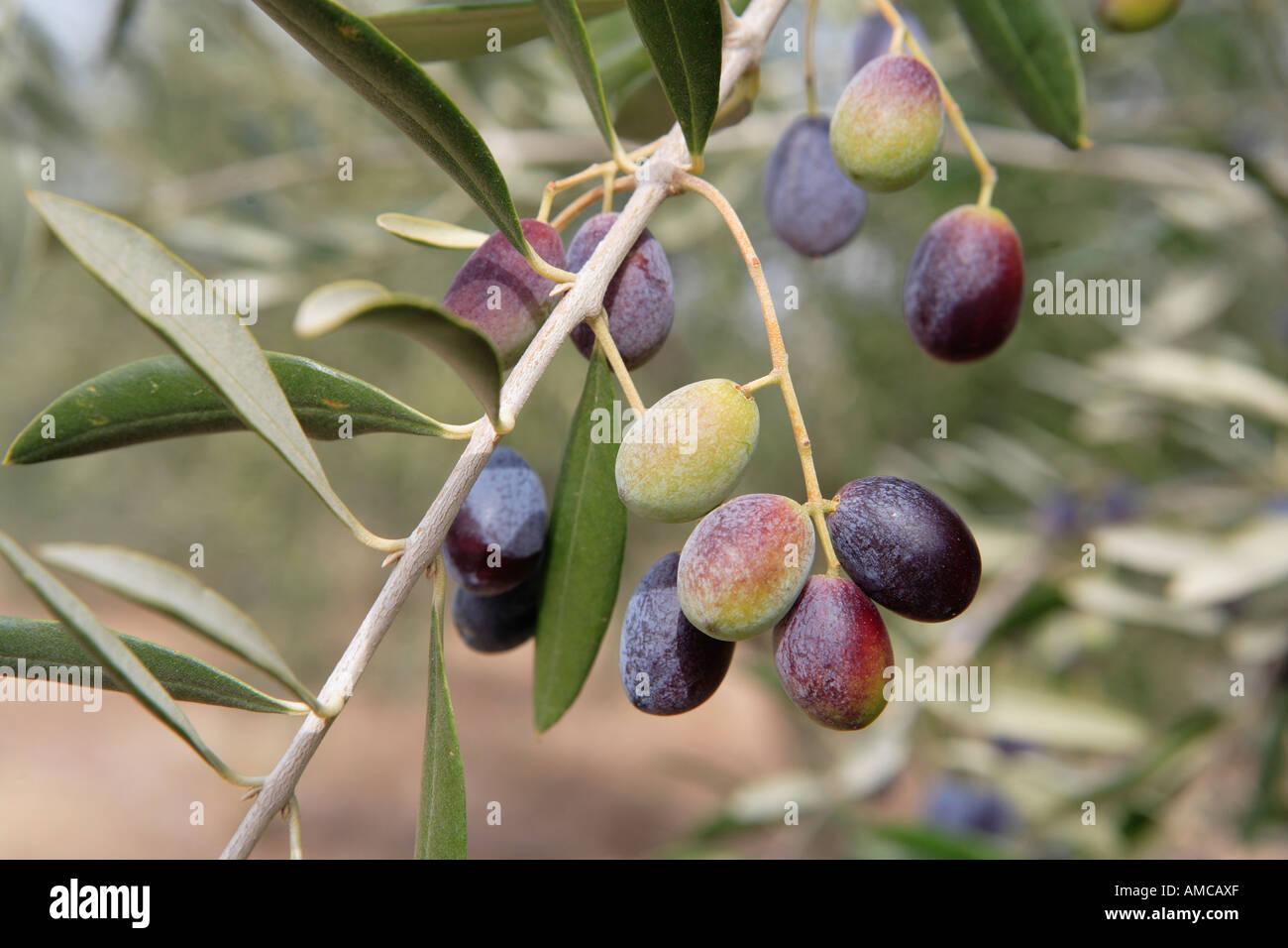 Olive tree branch symbol of peace with green and ripe black olives olive tree branch symbol of peace with green and ripe black olives north eastern victoria australia buycottarizona Choice Image