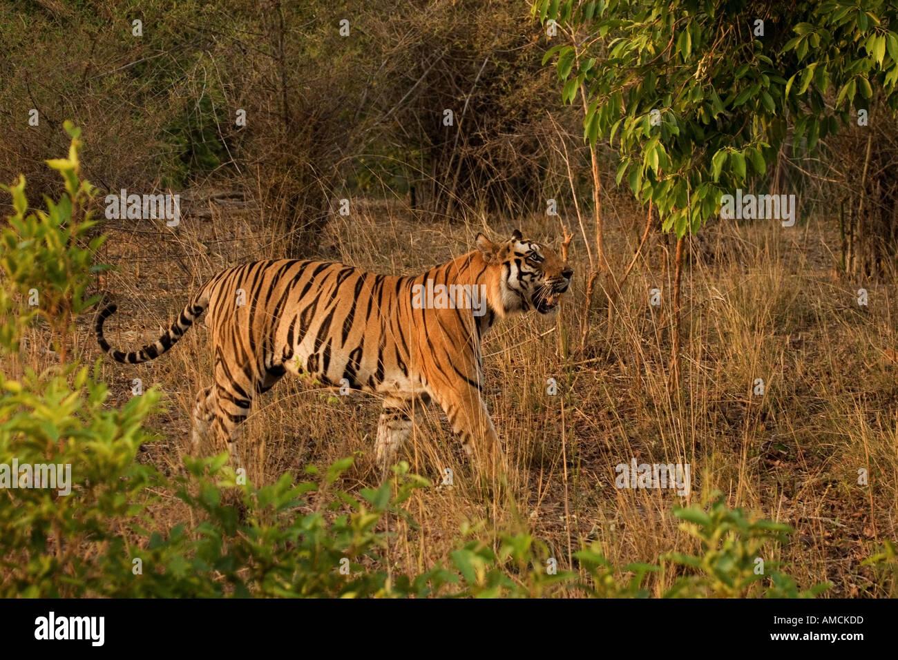 Bengal tiger - walking / panthera tigris tigris Stock Photo ...