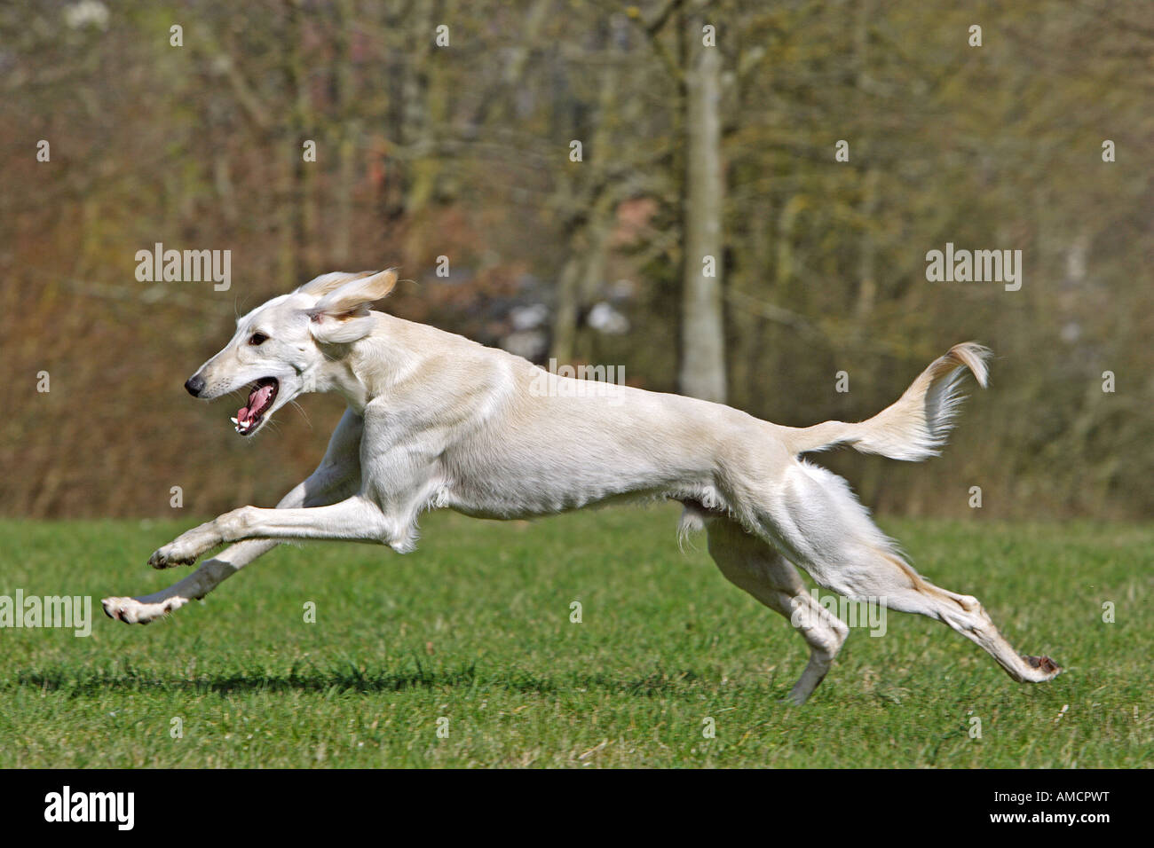 Saluki Dog Running | www.pixshark.com - Images Galleries ...