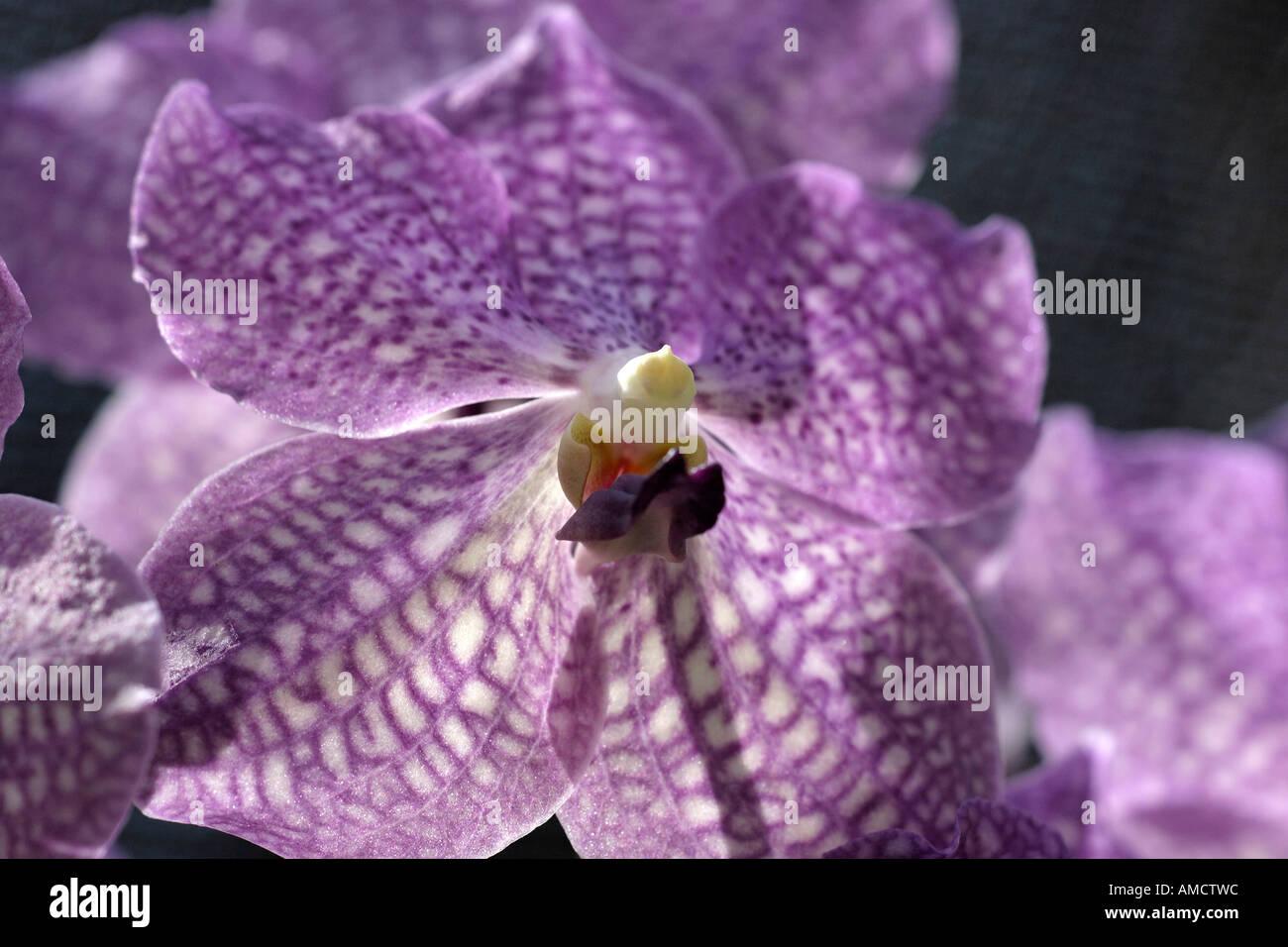 orchidee vanda rothschildiana