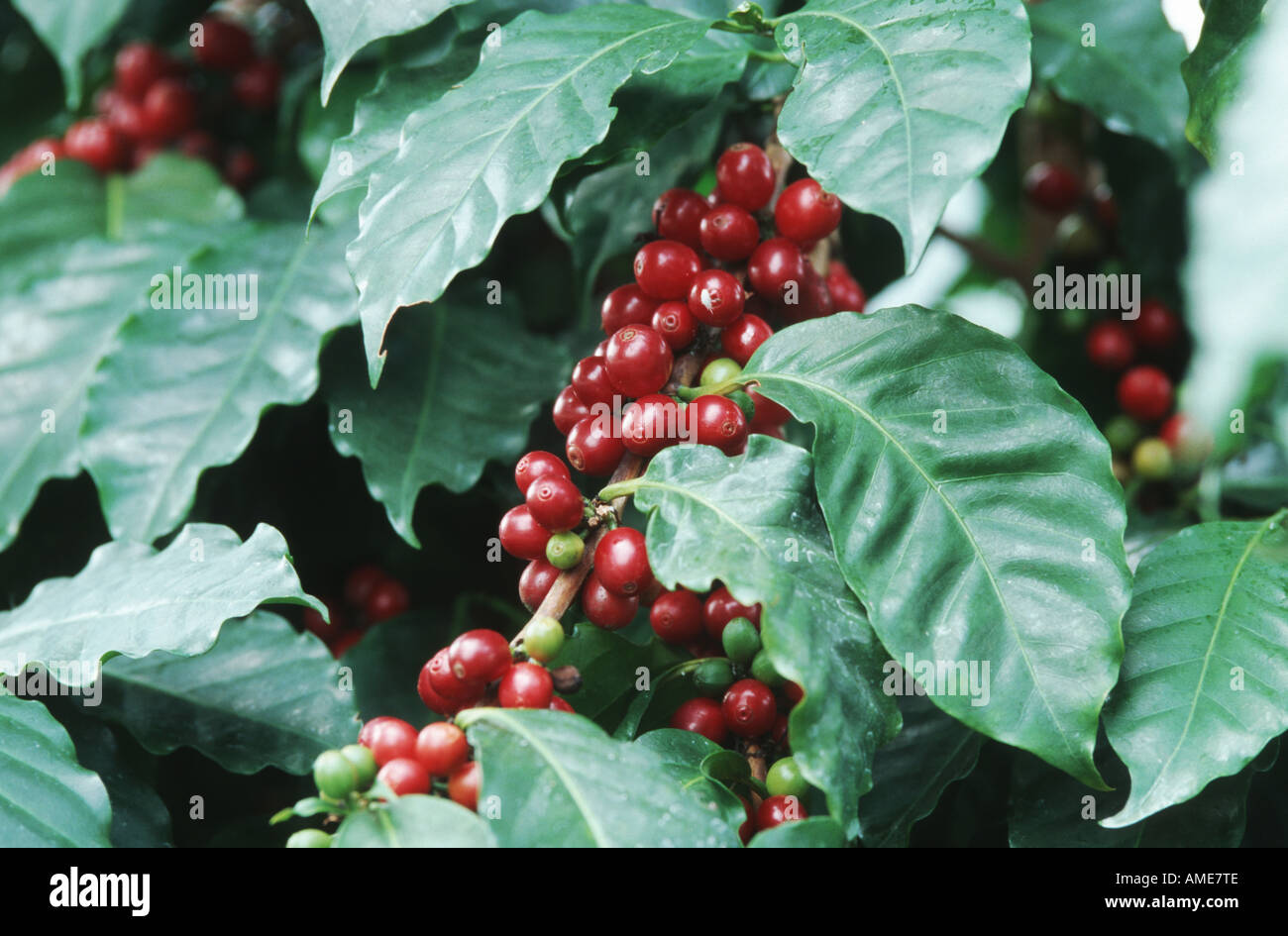 Arabian coffee coffea arabica ripe fruits stock photo for Coffea arabica