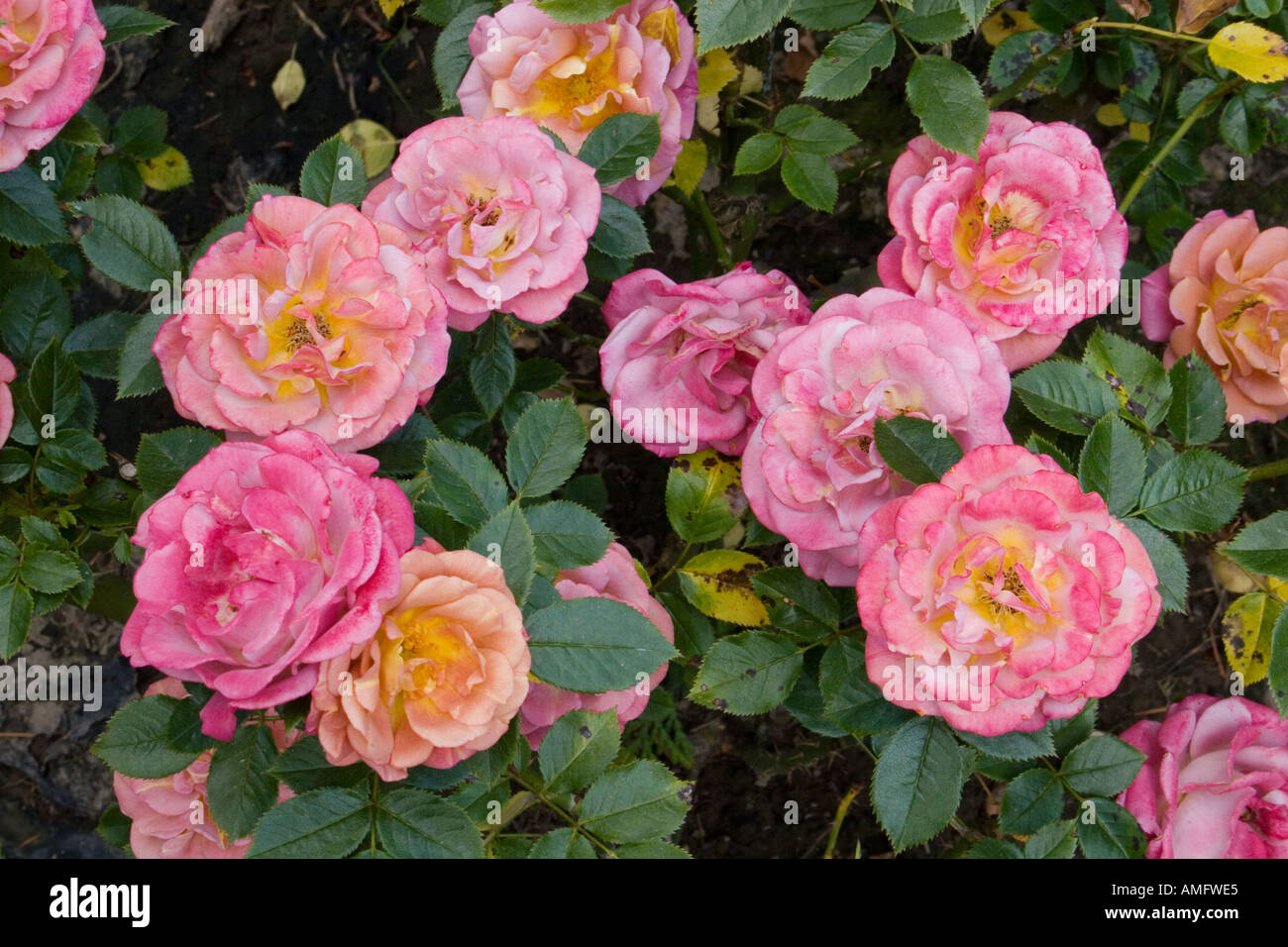 how to grow multi colored roses