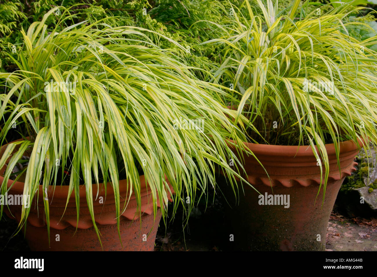 Ornamental golden hakone grass from japan in pots for Ornamental japanese grass