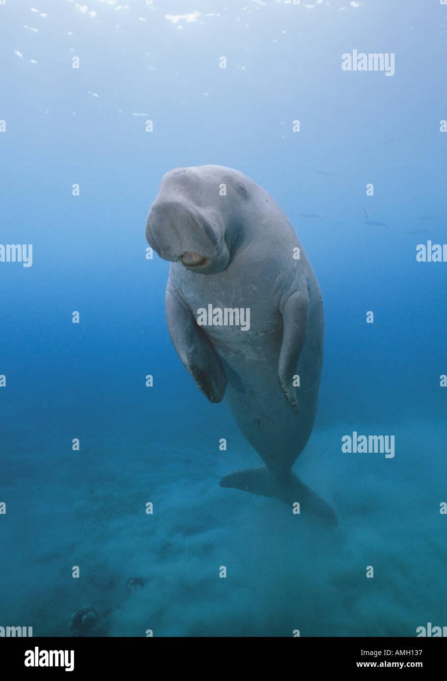 Dugong Mermaid Legend
