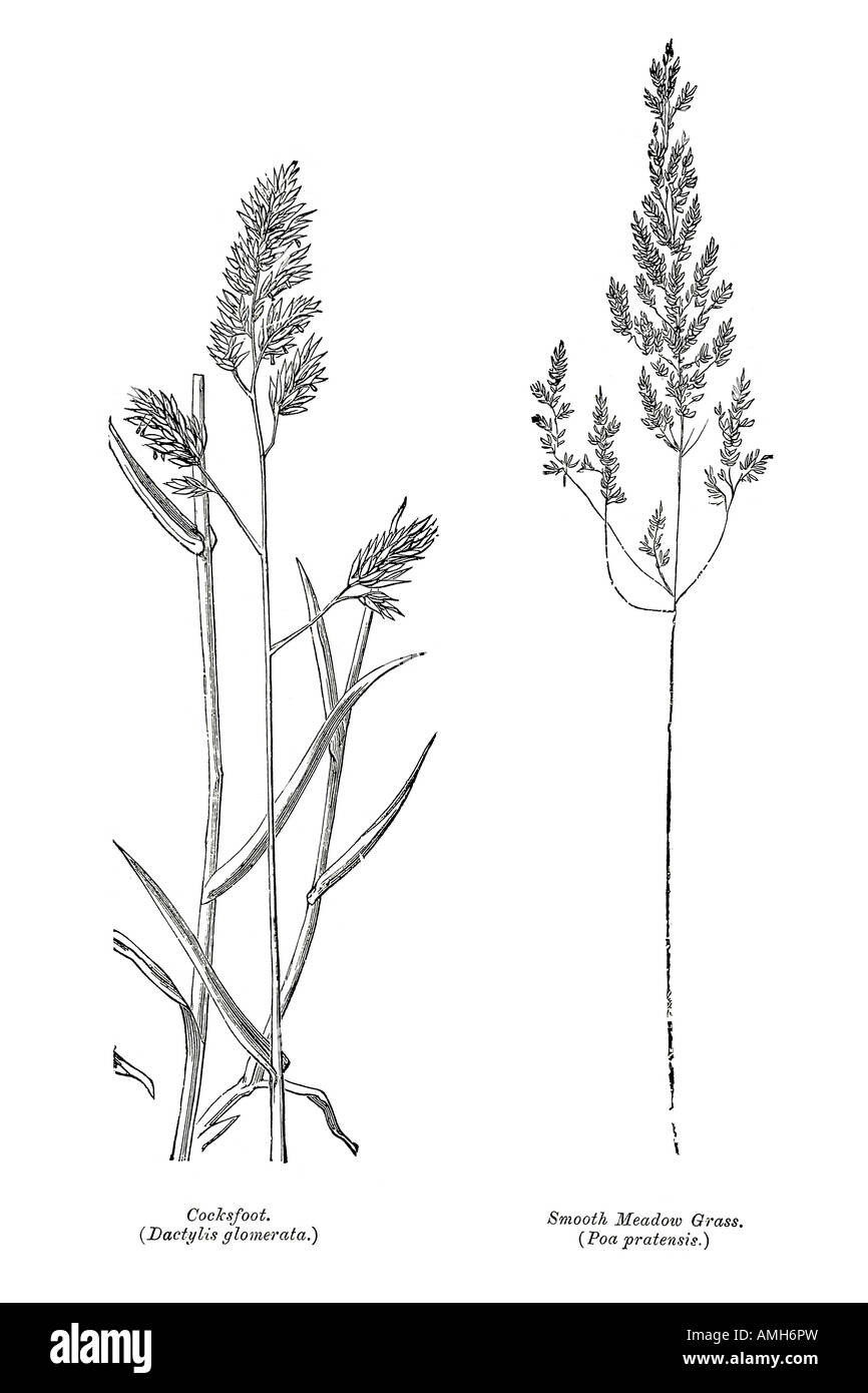Cocksfoot dactylis glomerata smooth meadow grass poa pratensis cocksfoot dactylis glomerata smooth meadow grass poa pratensis silage hay food equine horse stalk stem flower seed diagram botan ccuart Image collections