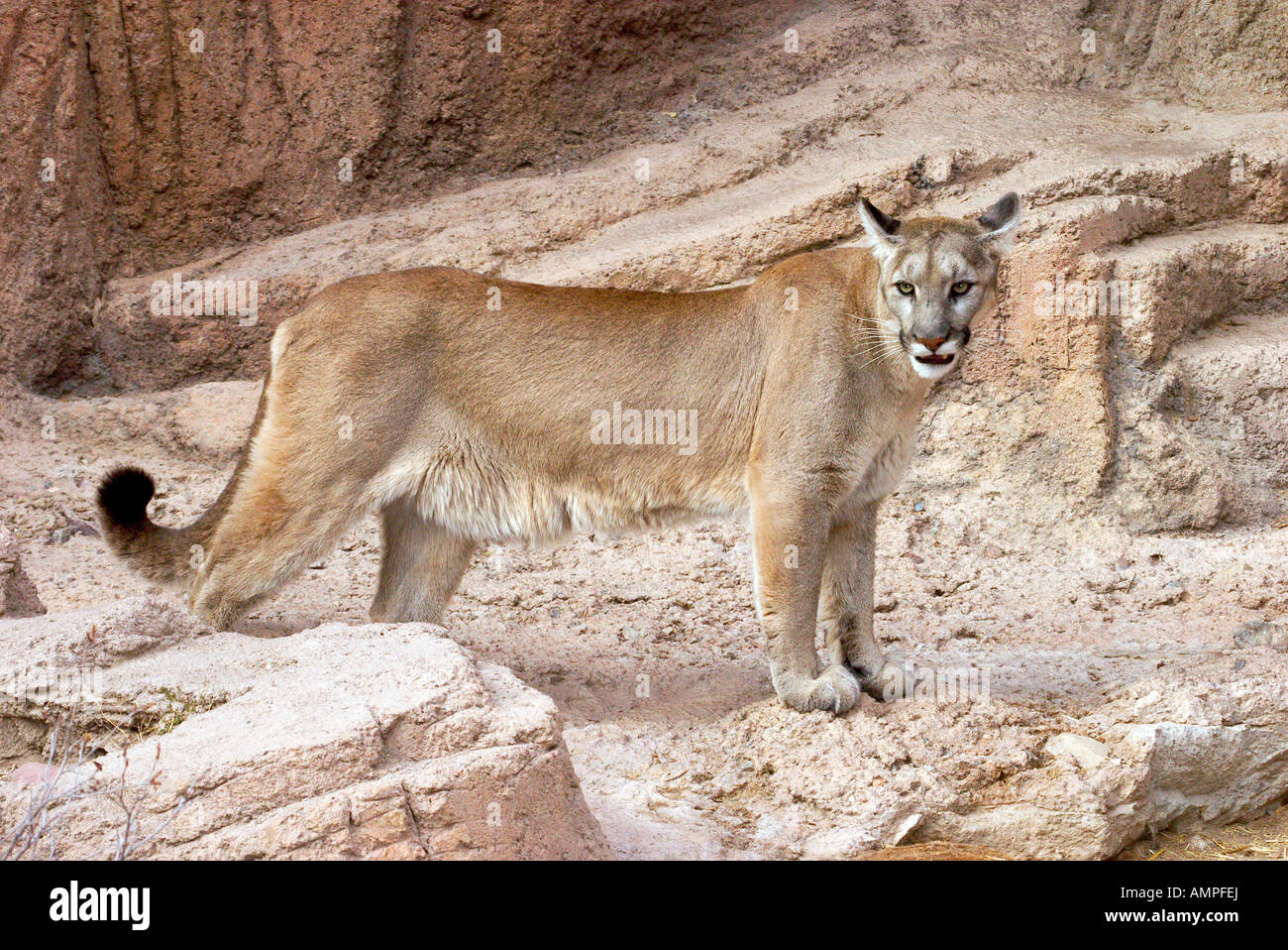 Mountain lions in the desert