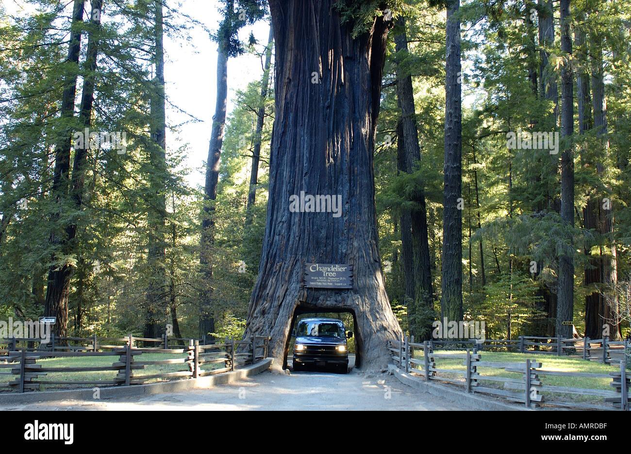 Chandelier Tree Leggett Valley California USA Stock Photo, Royalty ...