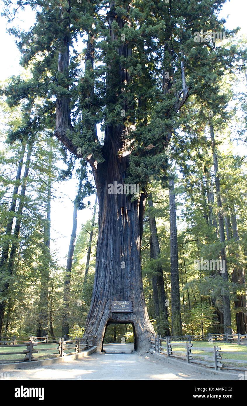Chandelier tree leggett valley california stock photo 2850242 alamy chandelier tree leggett valley california arubaitofo Gallery