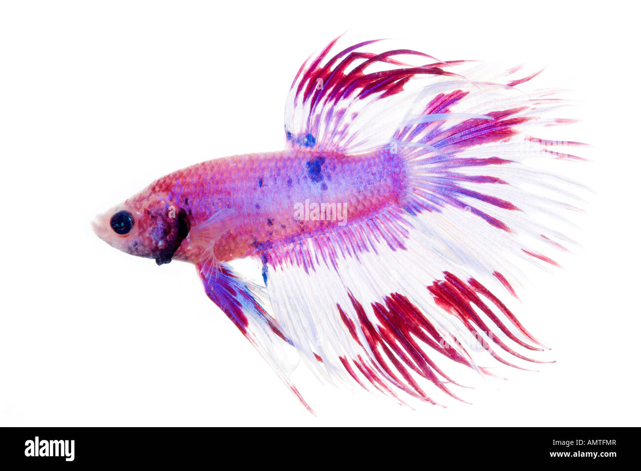 purple and white betta fish