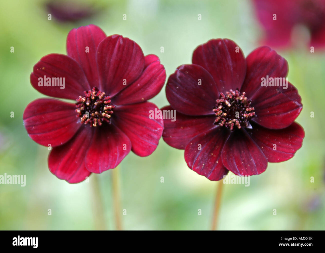 Chocolate Cosmos Stock Photos & Chocolate Cosmos Stock Images - Alamy