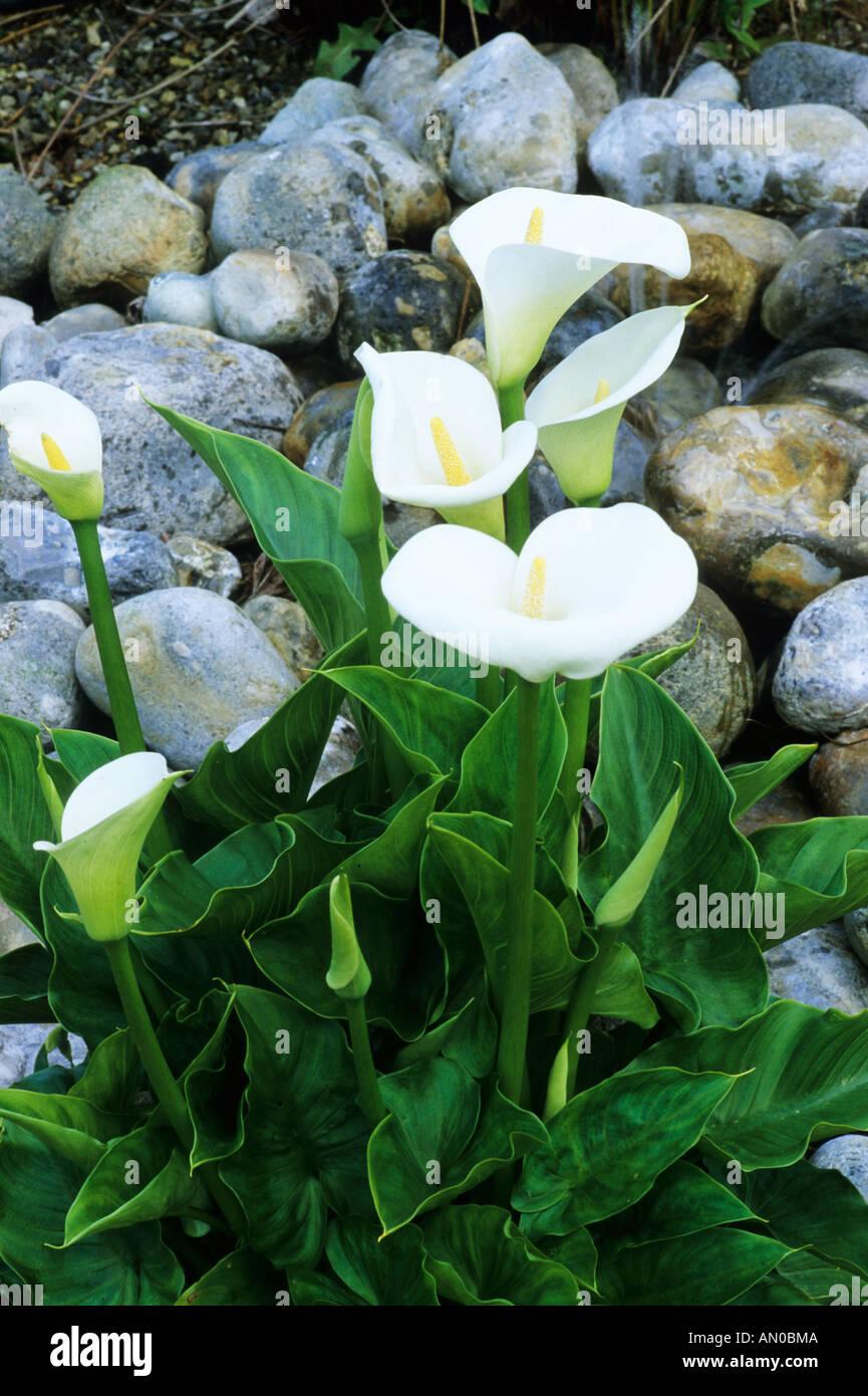 Pebbles, Pond, Zantedeschia Aethiopica U0027Crowboroughu0027, Water Garden, Plants,  Zantedeschias