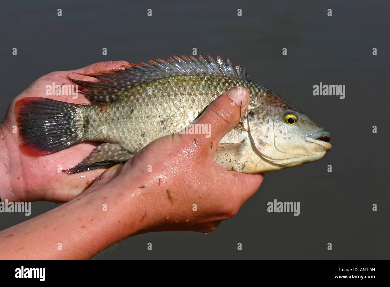 Freshwater fish in south africa - Mozambique Tilapia O Mossambicus Male Semi Breeding Colours A Common Freshwater