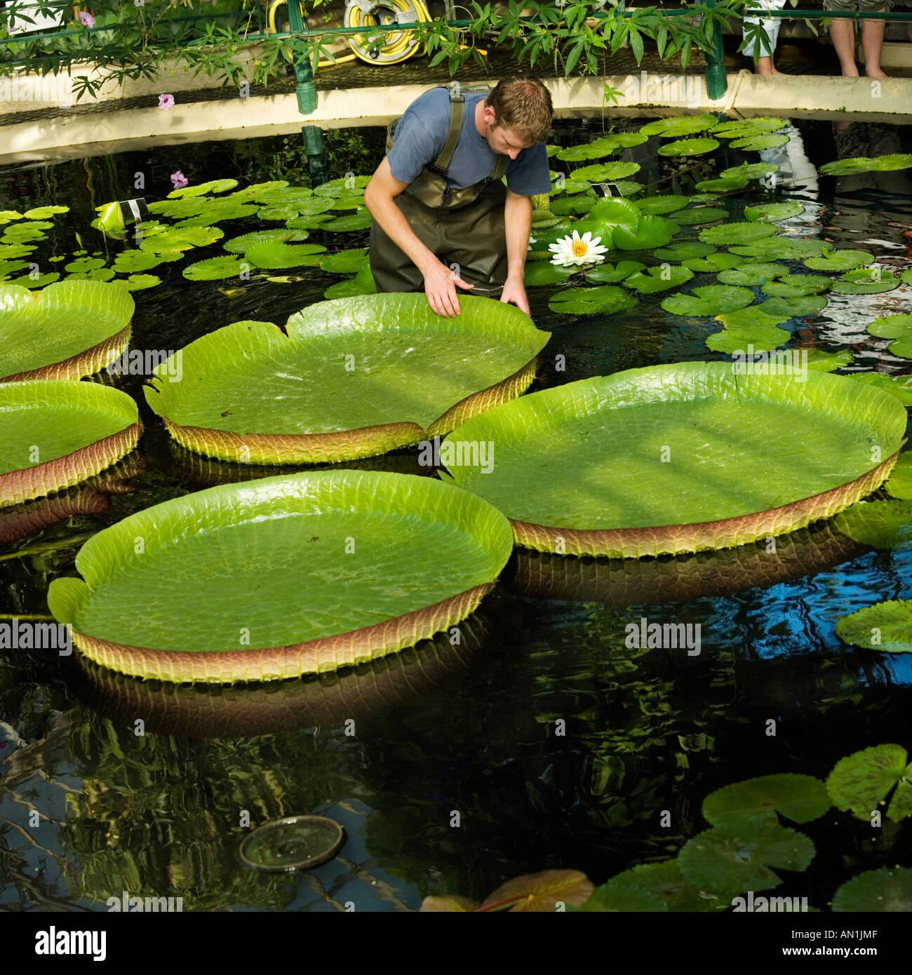 Giant Water Lily Gardener Santa Cruz Lily Kew Gardens