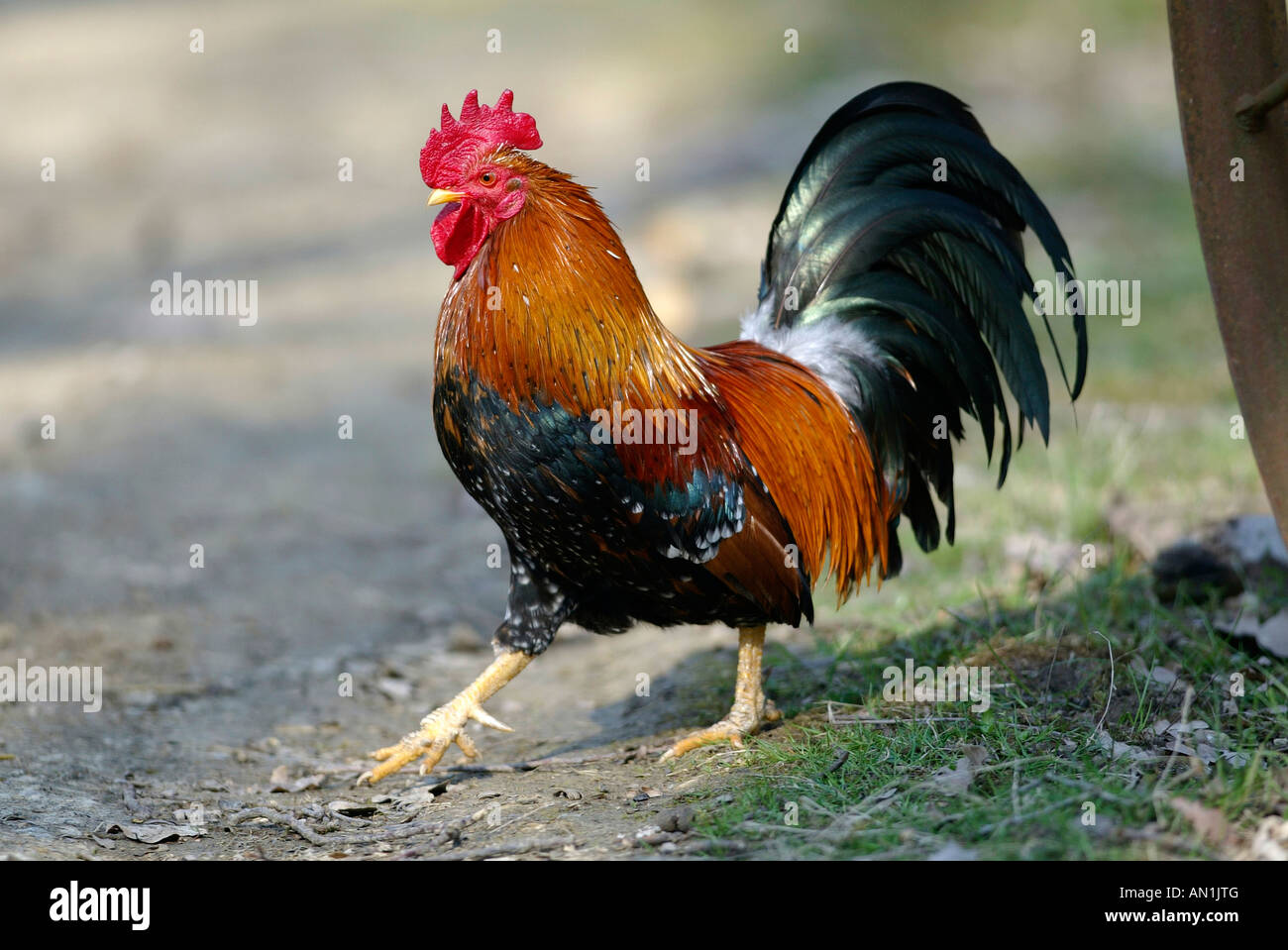 Fowl Poulet Male Cock Rooster Faucet Chanticleer Stock Photo Royalty