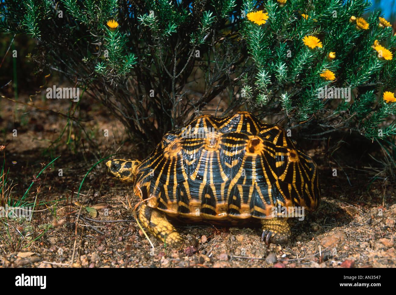 geometric tortoise how tall