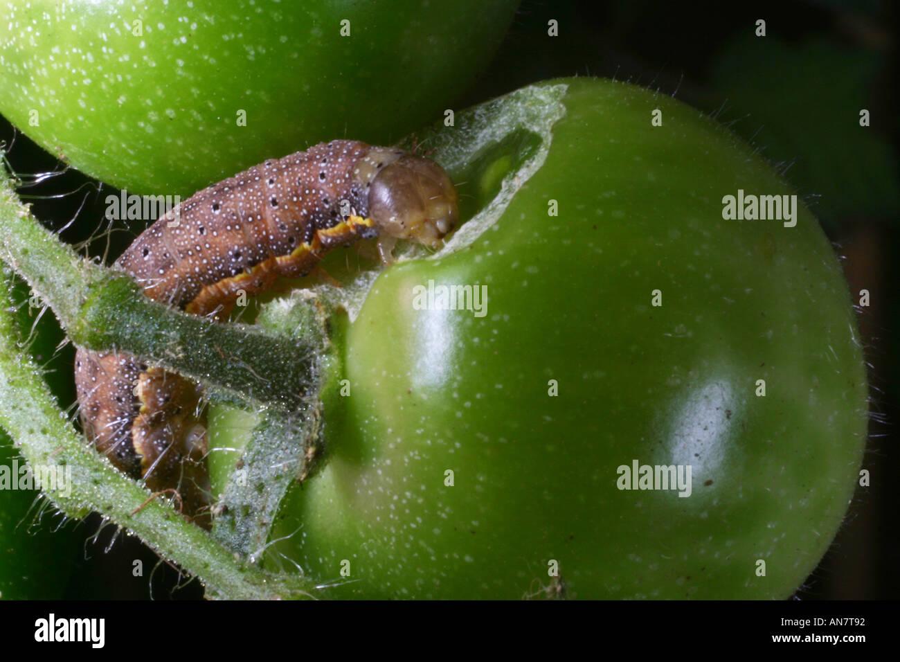 bright line brown eye moth caterpillar lacanobia oleracea stock