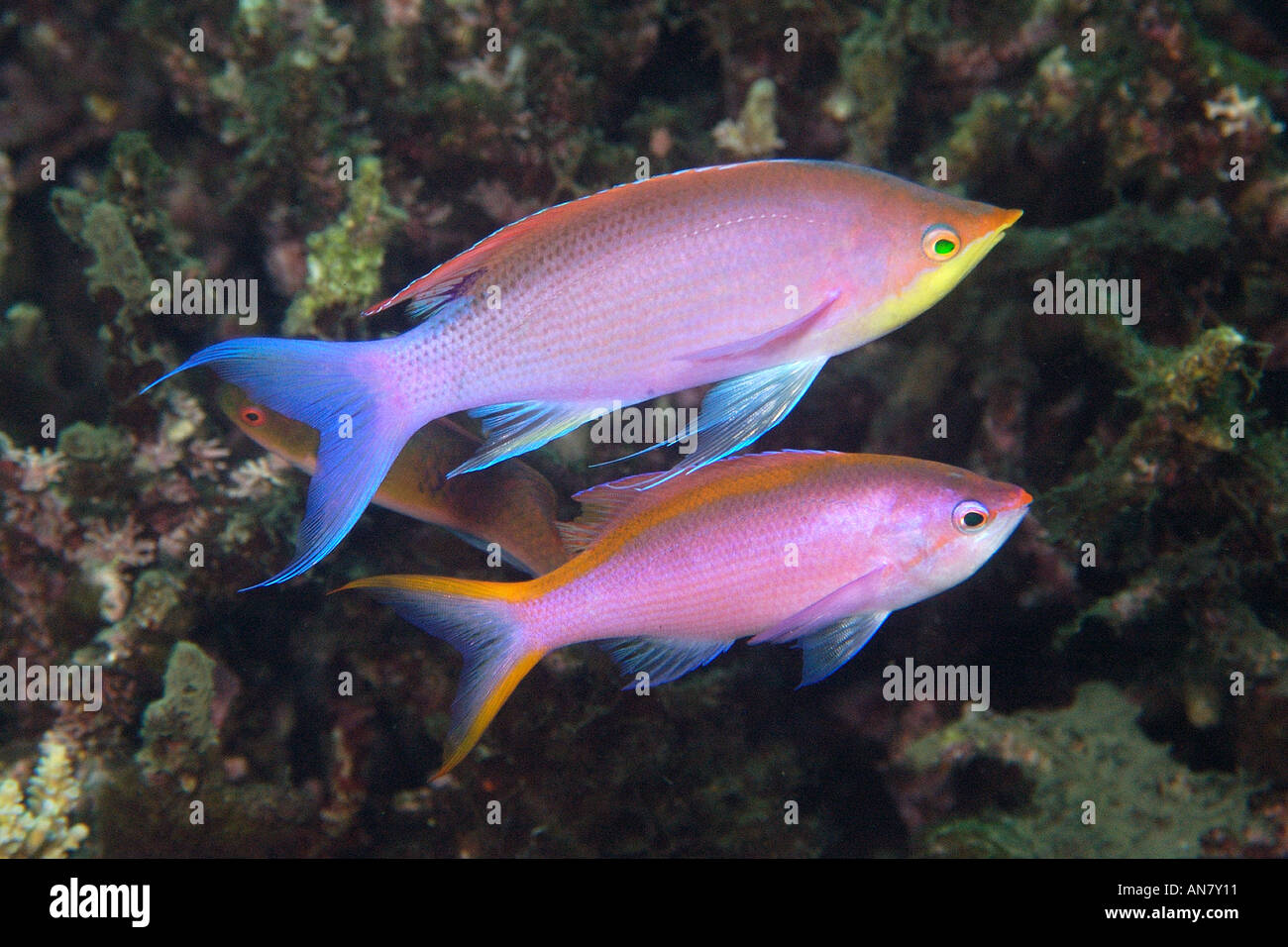 Photos of cods, grouper and basslets Family Serranidae