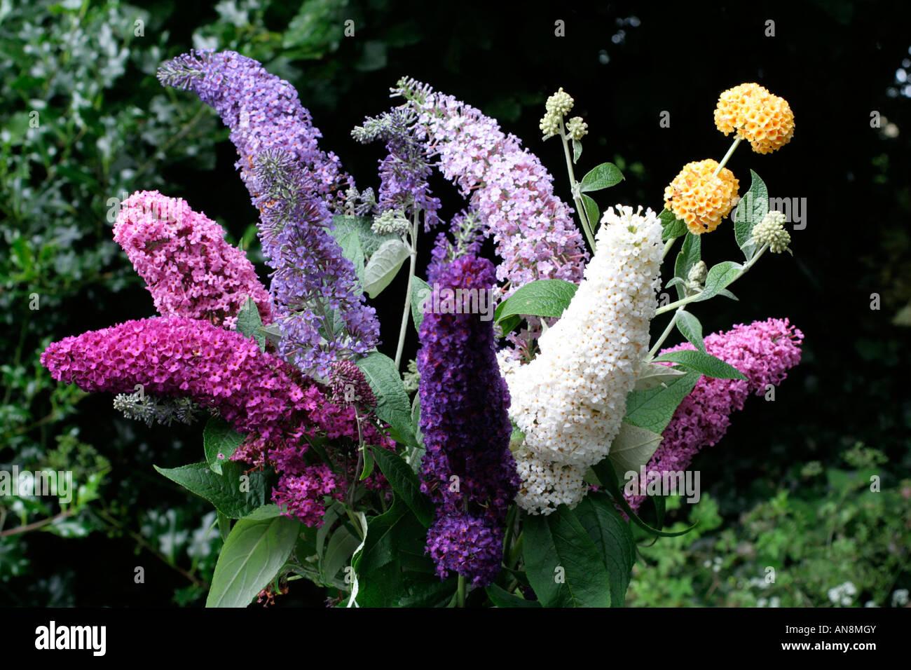 Buddleja Davidii Cultivars Stock Photo Royalty Free Image
