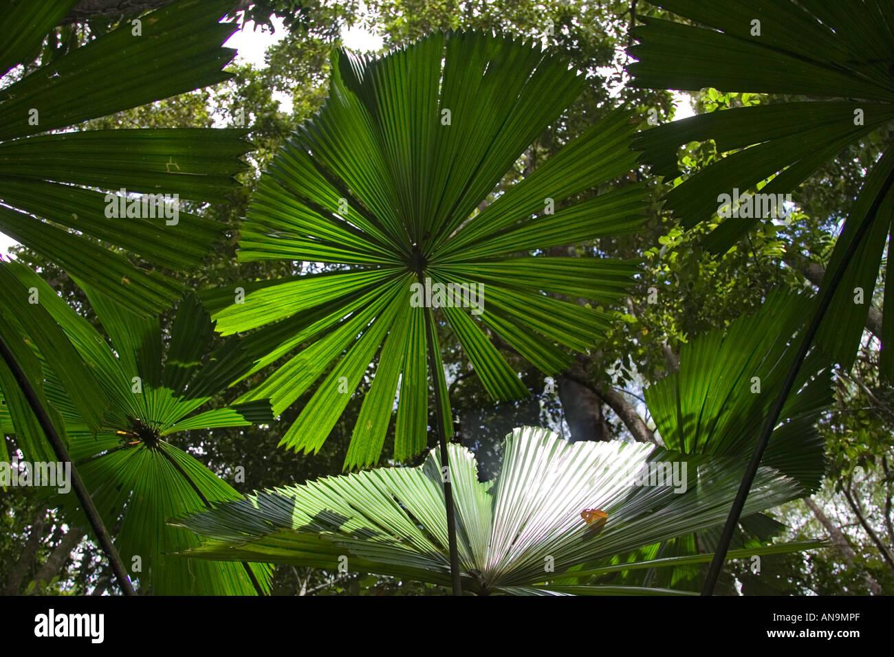 fan palms in the daintree rainforest queensland australia stock