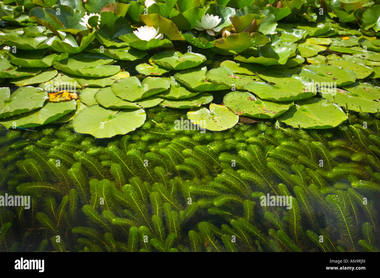 Biotope ecosystem plant life in a pond pool waterplants for Ecosystem pool