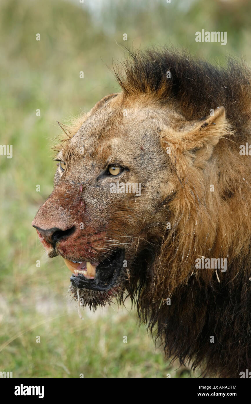 Side view portrait of male Lion with patchy black mane and ...