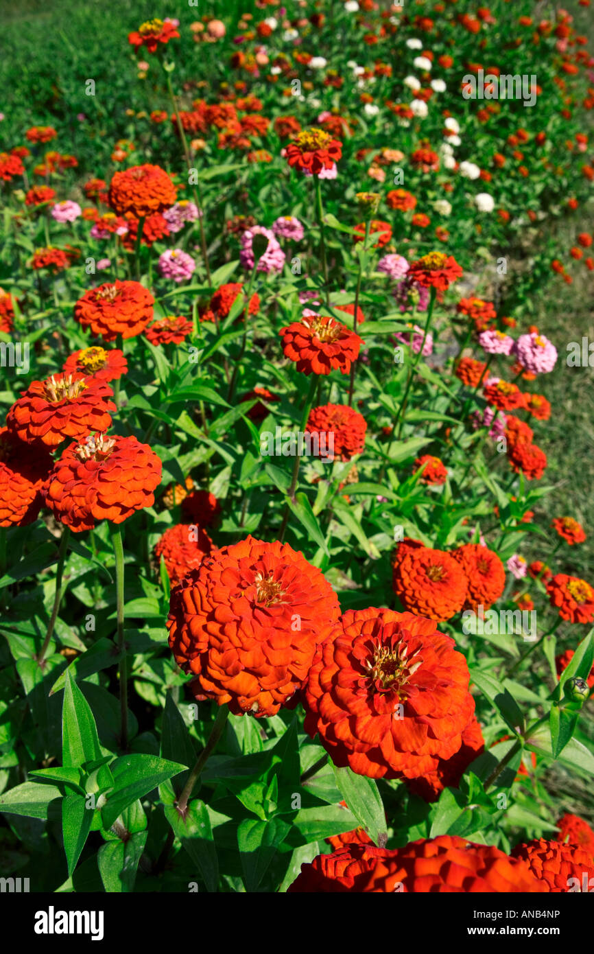 Flower Garden Red Zinnias
