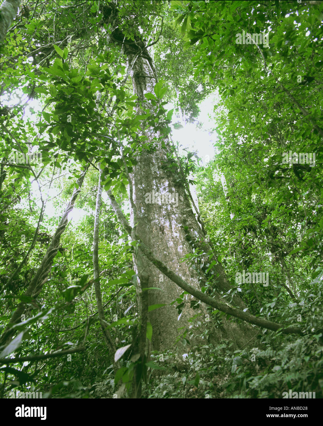 Looking up through rainforest canopy in amazon jungle north Peru & Looking up through rainforest canopy in amazon jungle north Peru ...
