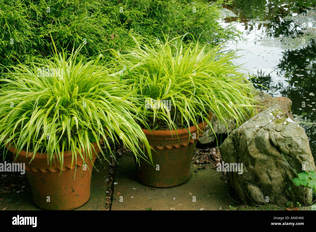 Golden hakone grass in containers next to pond botanical for Best ornamental grasses for pots