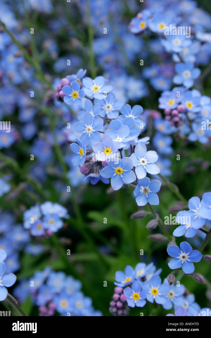 Garden flowers names - Blue Flowers Of Garden Plant Forget Me Not Soft Focus Botanical Name Myosotis Sylvatica