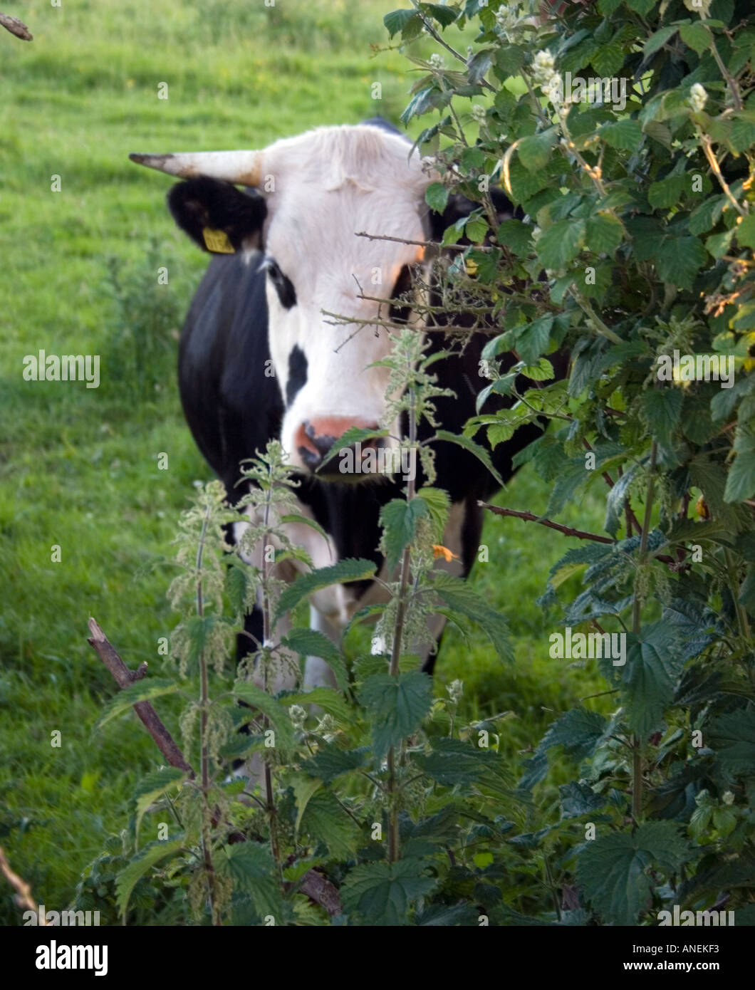 black and white cow hiding behind a hedge ireland stock photo