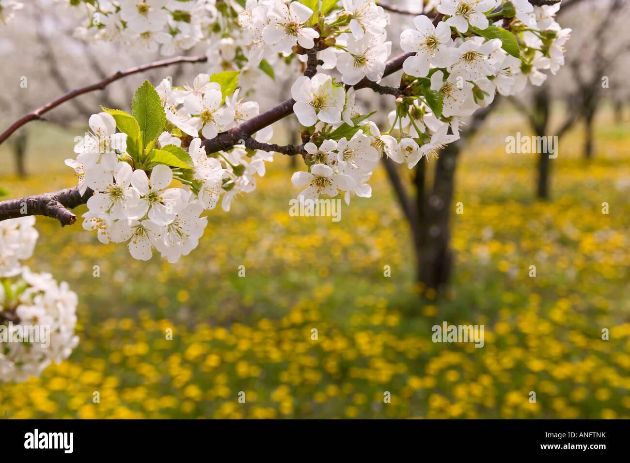 Fruit Punch Tree Part - 38: Spring Flower, Blossoming Cherry Trees Near Devils Punch Bowl, Ridge Road,  Hamilton,