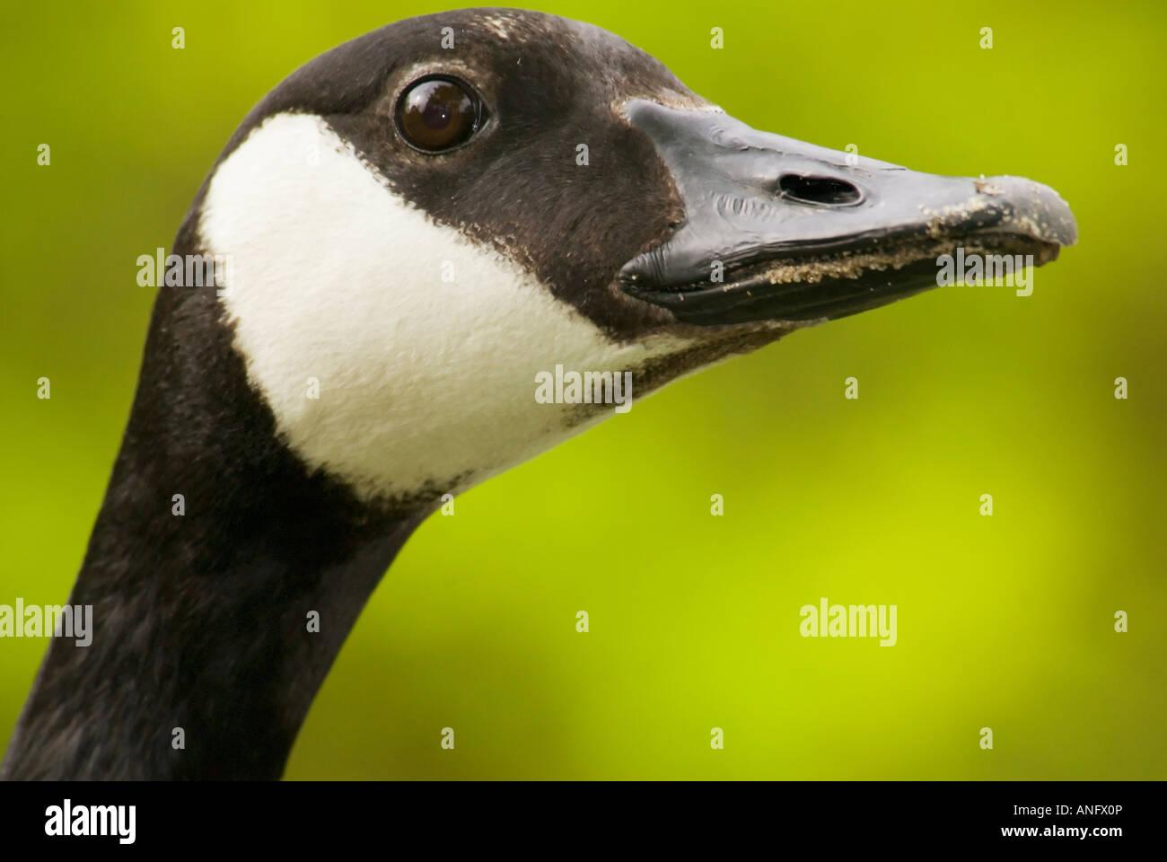 Adult canada goose a canadian symbol ontario canada stock photo adult canada goose a canadian symbol ontario canada biocorpaavc