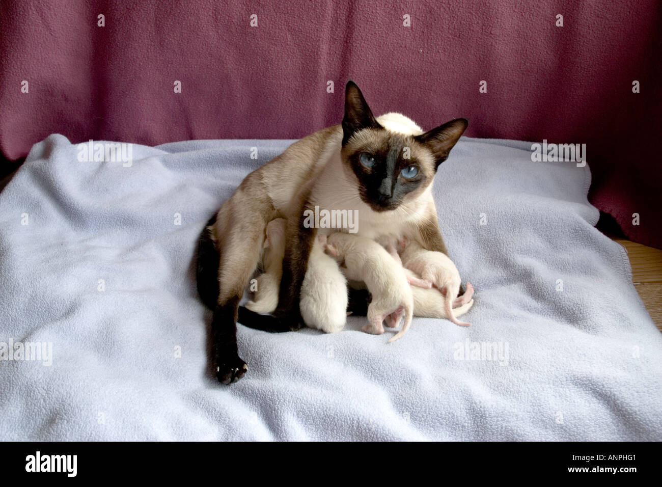 Siamese Cat Seal Point Kittens