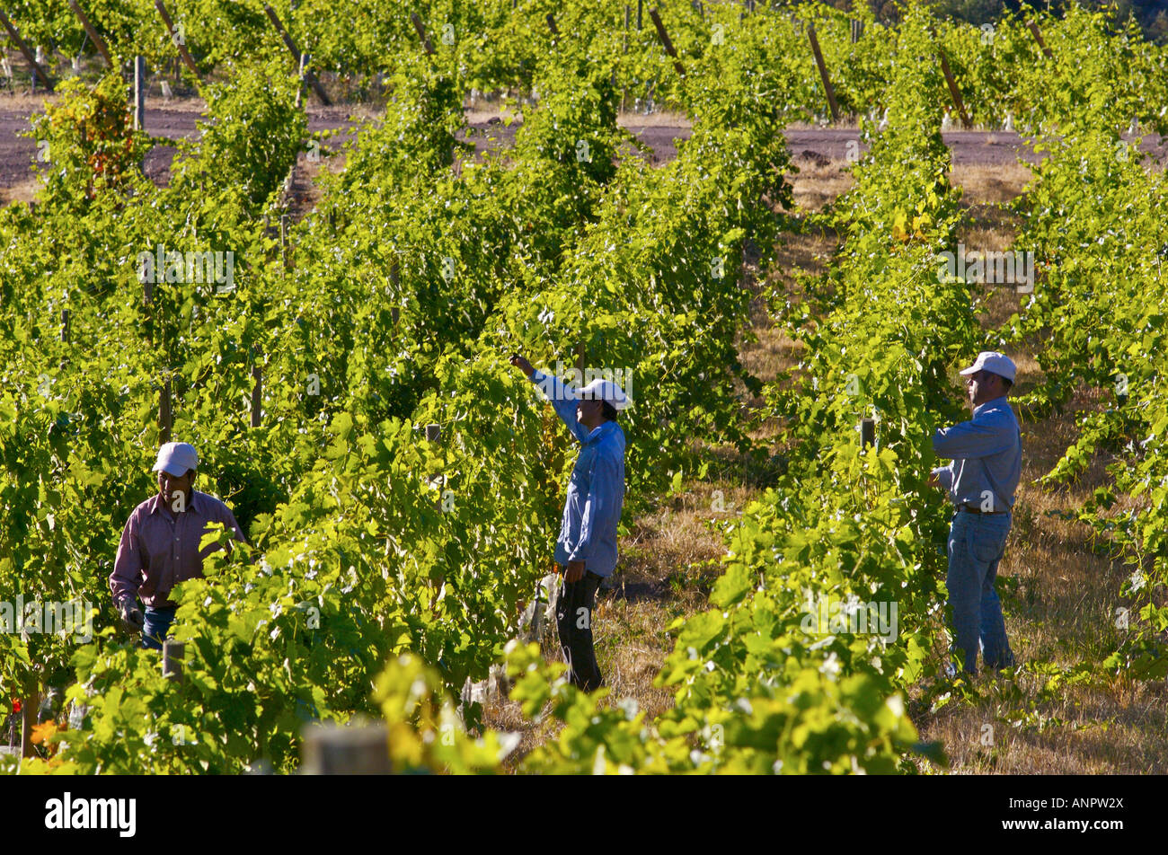 Canopy management in vineyards of Luis Felipe Edwards Colchagua Valley Chile Rapel & Canopy management in vineyards of Luis Felipe Edwards Colchagua ...
