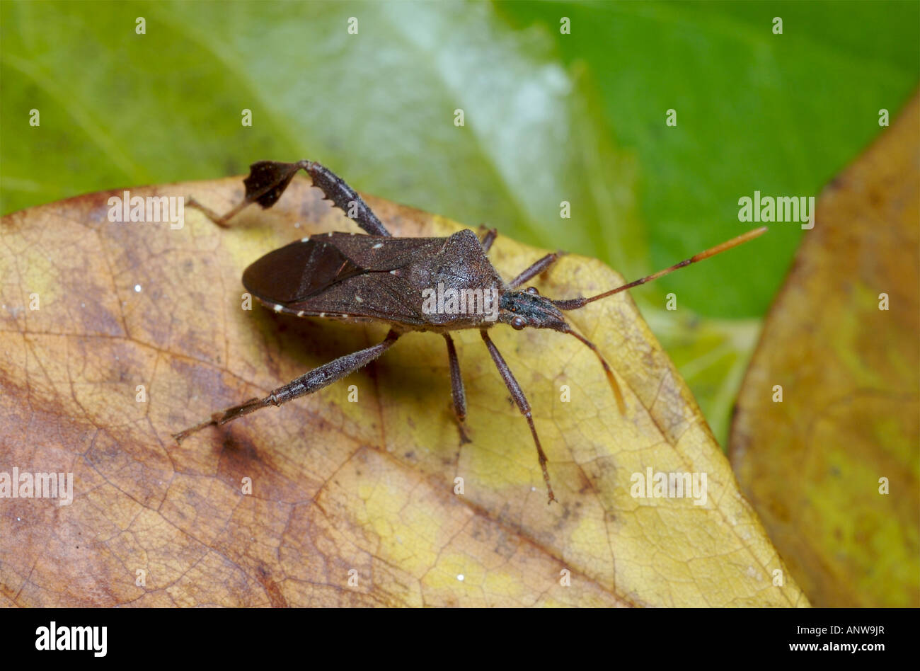 Leaf Footed Bug Stock Photos & Leaf Footed Bug Stock Images - Alamy