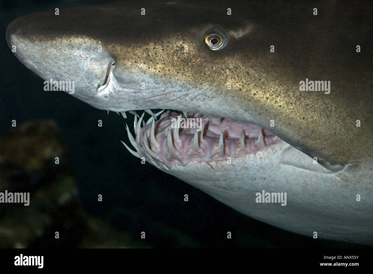 Sand tiger shark information amp pictures of sand tiger sharks - Sand Shark Sand Tiger Shark Sandtiger Shark Gray Nurse Shark Eugomphodus Taurus