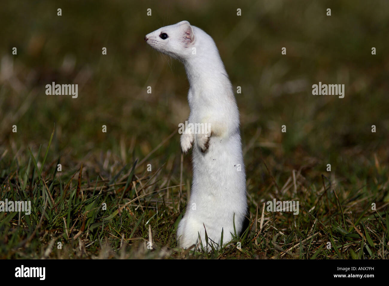 ermine, stoat (Mustela erminea), winter fur, Germany Stock