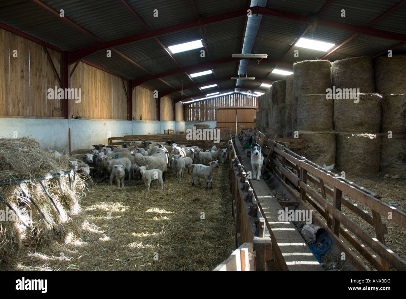 stock photo of lambs and sheep feeding on hay in a sheep barn the