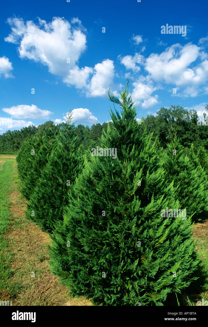 Agriculture - Leyland Cypress trees growing at a Christmas tree ...