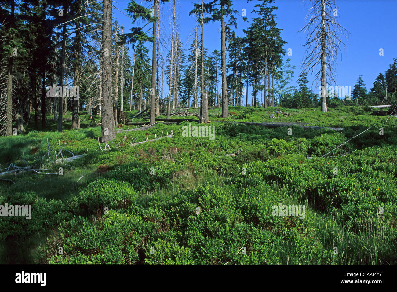 Acid rain damage, dying forest, Torfhaus, Harz Mountains, Lower ...
