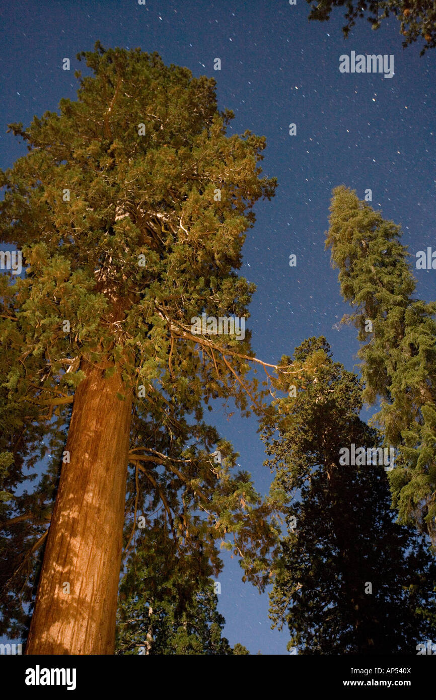 Giant Sequoia trees in the Sequoia National Park Sierra Nevada ...