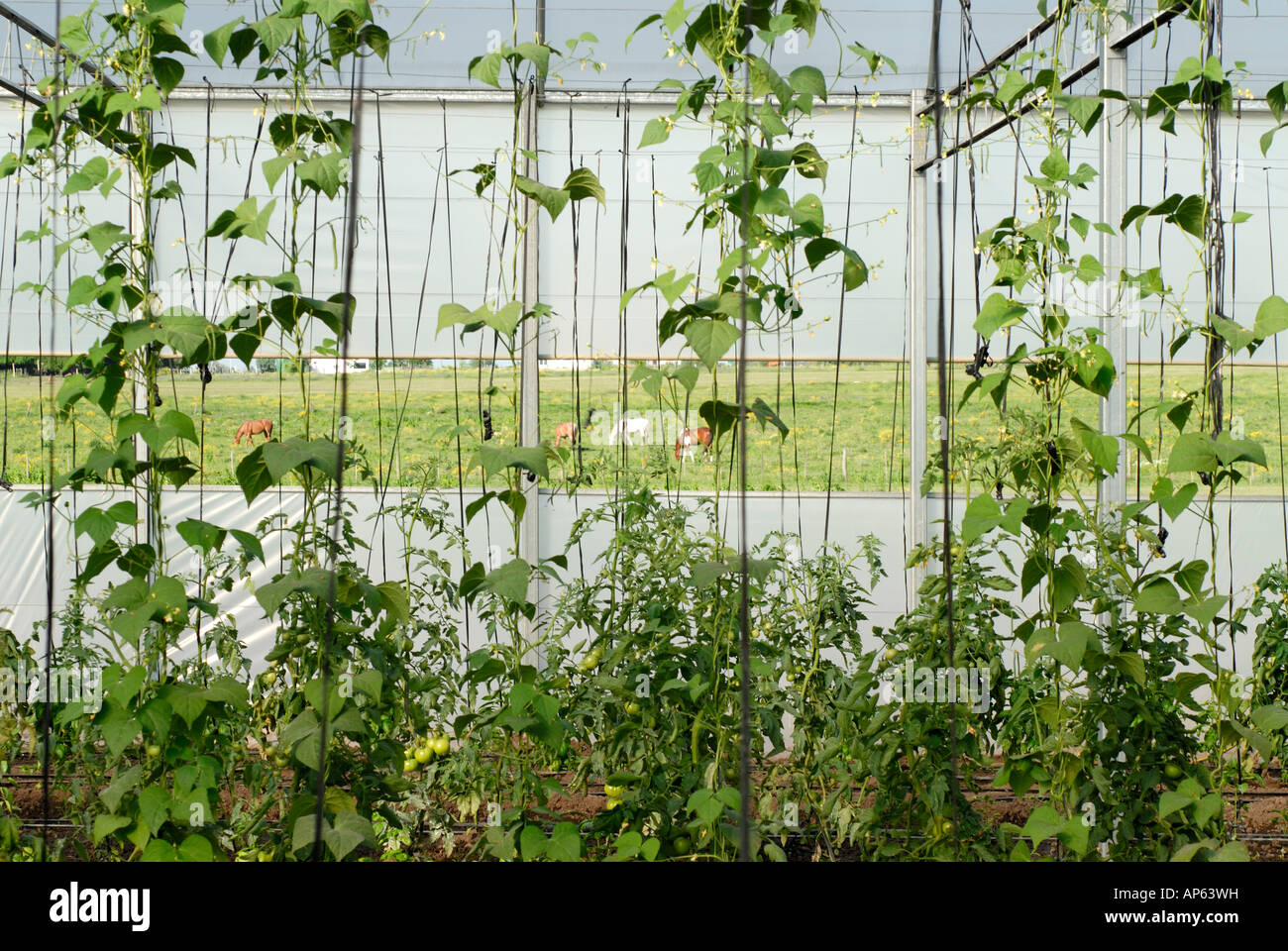 Green beans plants growing inside greenhouse stock photo for Indoor gardening green beans