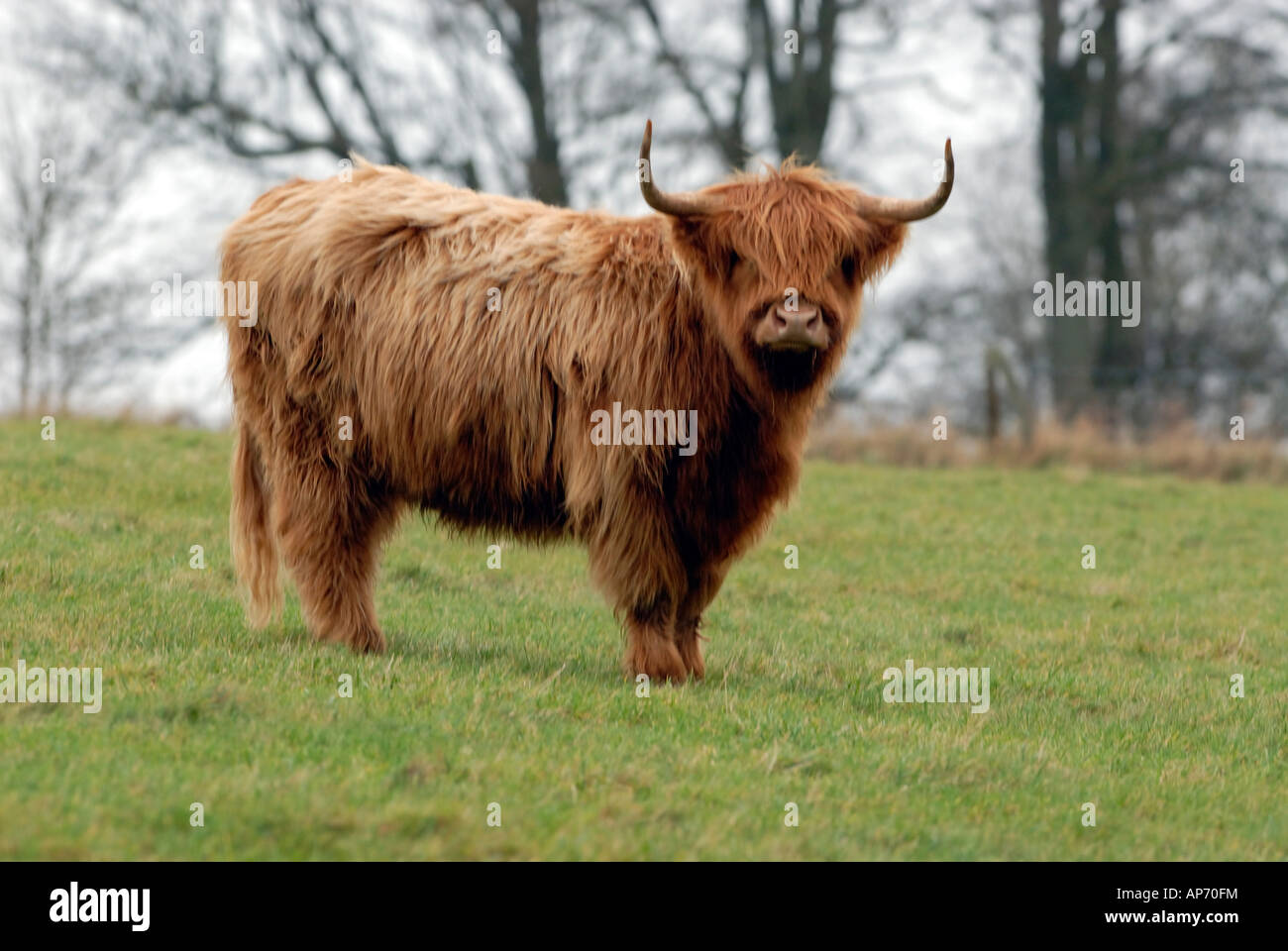 aberdeen angus highland cattle in a field stock photo royalty