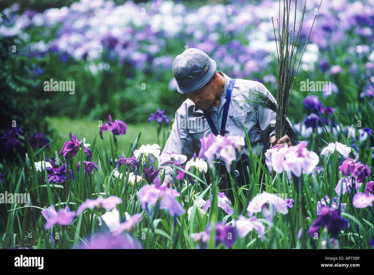 Iris Garden At Meiji Shrine In Tokyo   Stock Image